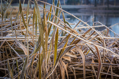 Winter  landscape  cold pond  with  reed in the foreground in the morning Stock Photo