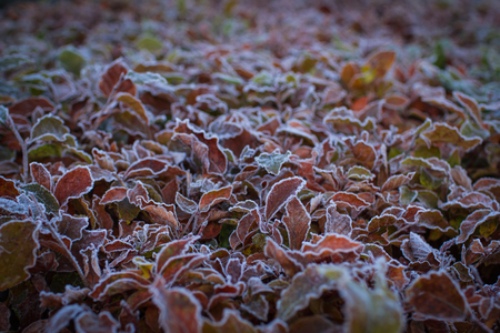 icily: The winter is coming!  Wonderful autumnal leaves of bush covered with white hoarfost.