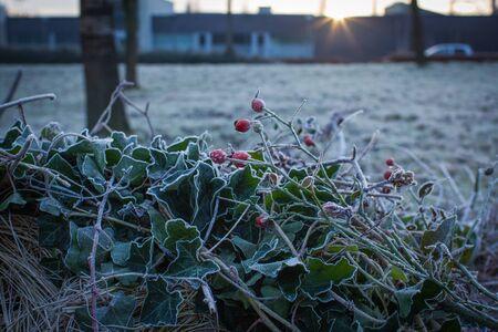 december sunrise: December, winter morning, sunrise, rose branch in ice
