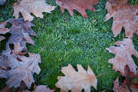 The winter is coming! Beautiful autumn oak leaves and moss covered with white frost Stock Photo