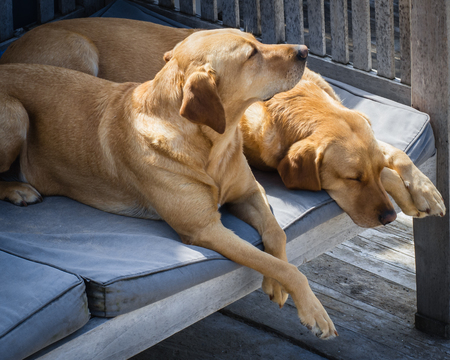 imperturbable: Two sleeping blonde labradors outside on the terrace, close-up, horizontal Stock Photo