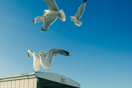 Free flying of seagulls on the blue sky background, coast of  North-sea, Netherlands Stock Photo