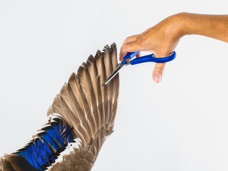 The hand with scissors cut the wing on the white background, horizontal comparison, symbolic Stock Photo