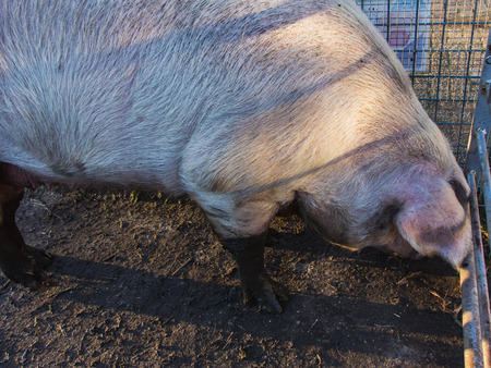 Mature big pink piggy, hoofed mammal, close-up 스톡 콘텐츠
