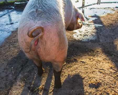 Old big pink piggy, hoofed mammal, close-up