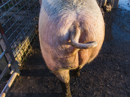 Animal. A backside of a big swine, a stiff bristle. View from back, close-up