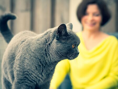 British shorthair cat, coloring British blue, woman in yellow clothes sitting in the background, blurred background.
