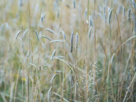 Cereal field. Wheat ear on a blurred soft colored background.
