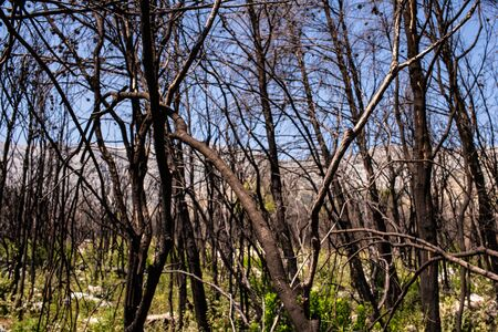 After five years, the dead forest after the fire in Peljesac, Croatia starts to grow again.