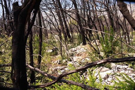 Five years later, a dead forest after a fire in Peljesac comes back to life. 写真素材
