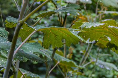 Water drops on a arge burdock leaves with leaf veins, close-up, view from below. Banco de Imagens