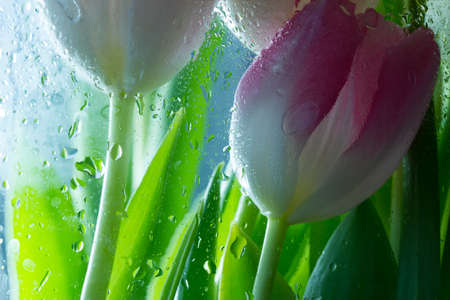 Tulip petal after window with waterdrops background. Close up photo, Floral background