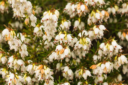 Erica darl Silberschmelze-winter heather flowers bunches full of bell-shaped flowers that are clear white in color. The leaves and stems are olive green and also remain green in winter. 版權商用圖片