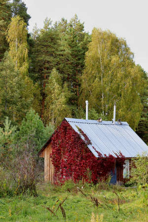 A small wooden house in the thickets of red foliage of wild grapes against the background of a forest, yellowing birches and green pines on an autumn day. Colorful peaceful autumn landscape.