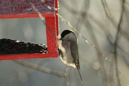 Poecile montanus sits on a red wooden feeder with sunflower seeds in birch branches covered with glittering frost in the sun on a clear, frosty winter day. Willow Tit or Poecile montanus.