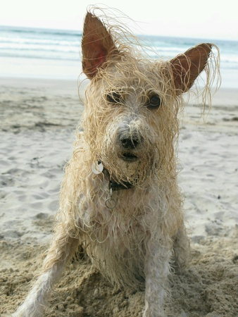 Wet happy sandy scruffy dog with ears up and crazy hair on beach looking at camera Stock fotó