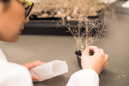 Researcher in the plant growth chamber harvest seeds