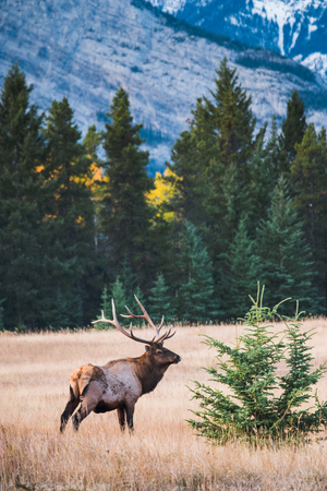elks in autumn banff national park, Canada Stock Photo