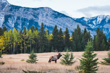Les élans en automne parc national banff, Canada