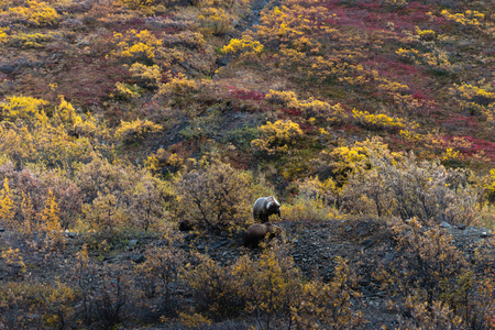 Alaska grizzly bears