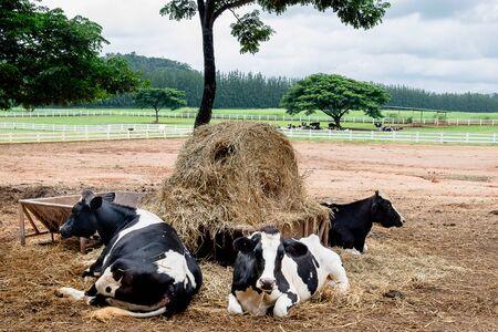 Milk cows, large animals on the farm Reklamní fotografie