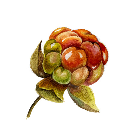 chicout�: Delicious Watercolor Cloudberry isolated on white background. illustration