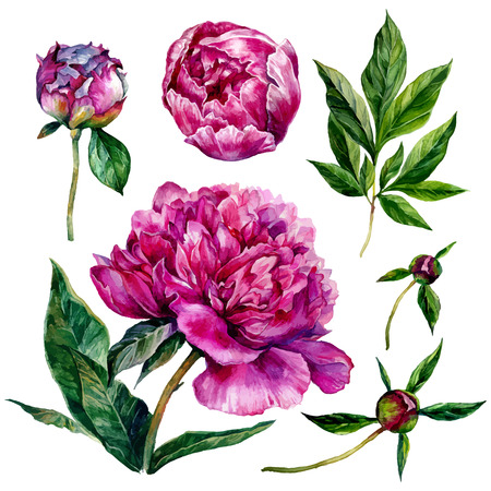 peonies: Watercolor peonies and leaves. illustration isolated on white background Illustration