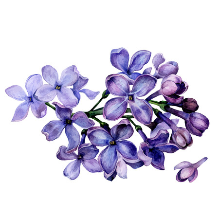 watercolor lilac flowers isolated on white background Imagens - 59020977