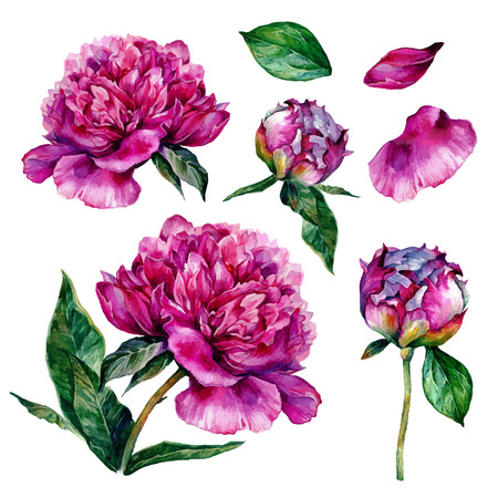 Watercolor peonies and leaves. illustration isolated on white background Vectores