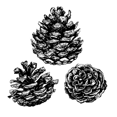 Hand drawn illustration of pinecones. Highly detailed ink art in engraved style Ilustração