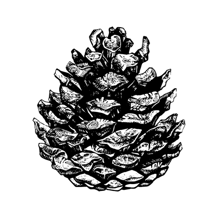 Hand drawn illustration of pinecone. Highly detailed ink art in engraved style