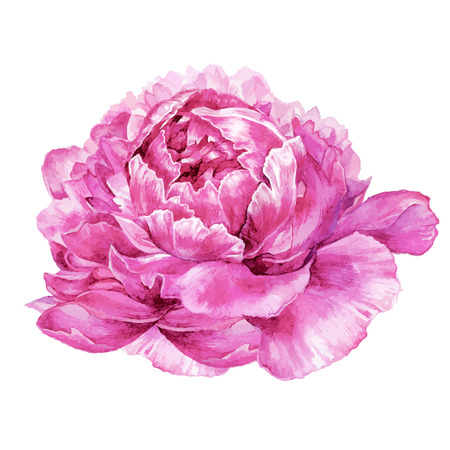 Watercolor hand drawn illustration of pink peony flower isolated on white background. Botanical illustration in trendy vintage style. Vectores