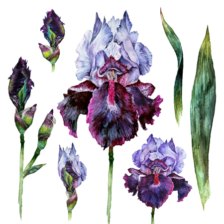 Watercolor Iris flower, buds, leaves and stems isolated on white background. Hand drawn illustration in vintage style