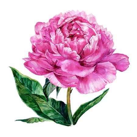 Peonía rosa clara de la acuarela aislada en el fondo blanco. Mano dibuja la ilustración en estilo vintage.