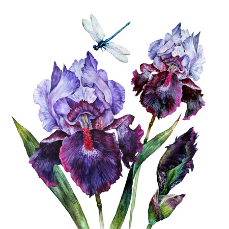 Watercolor Iris bouquet with a dragonfly isolated on white background. Hand drawn illustration in vintage style