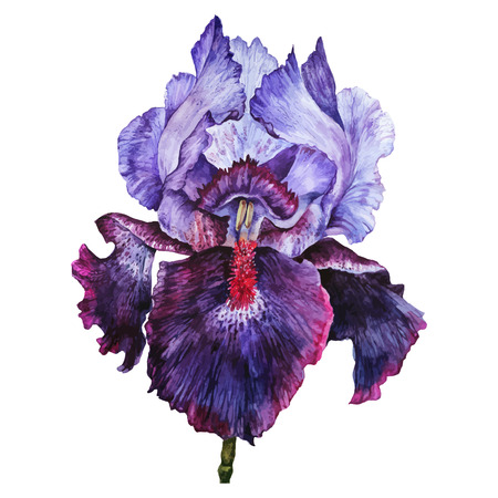 Watercolor Iris flower isolated on white background. Hand drawn illustration in vintage style