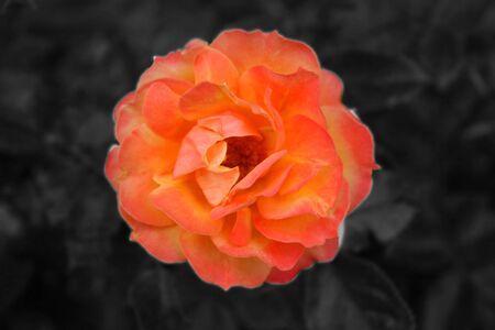 farbe: Orange Rosenbl�te Stock Photo