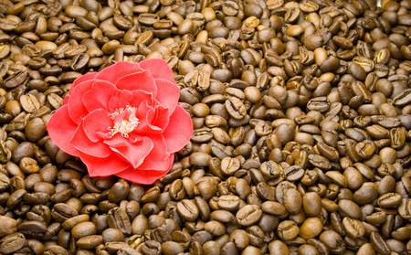 thea: red camellia on coffee beans Stock Photo