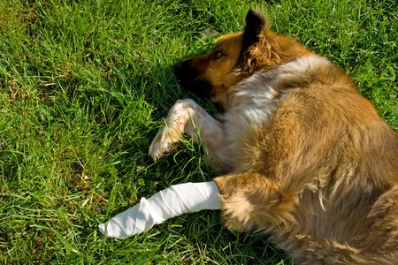 pawl: Wounded dog