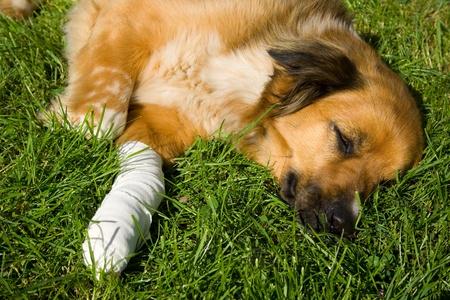 pawl: Cane ferito