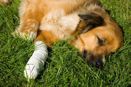Wounded dog
