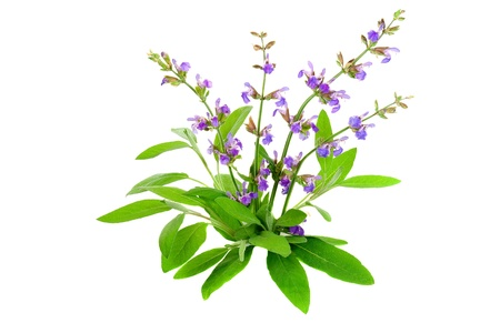 white salvia: Salvia officinalis