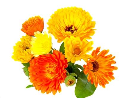 pot marigold: Pot marigold, calendula