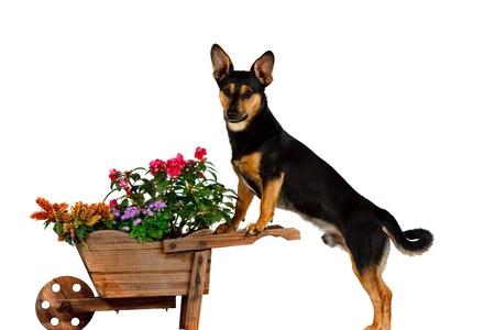 schubkarre: Jack Russel Terrier Gartenarbeit