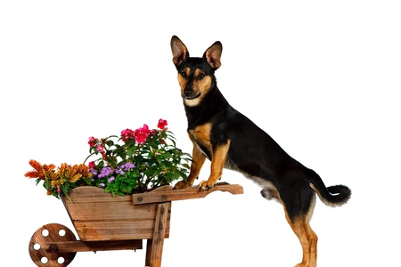 Jack Russel Terrier is gardening Stock Photo - 10058214