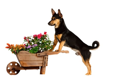 Dog with wheelbarrow photo
