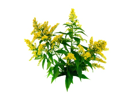 goldenrod: Goldenrod (Solidago) on white background
