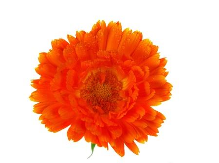 pot marigold: Blossom of Pot Marigold, Calendula officinalis Stock Photo