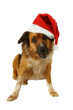 Big dog is looking for christmas on white background Stock Photo