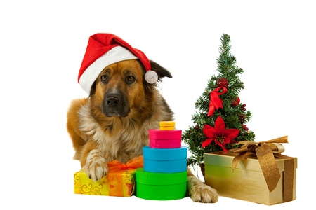 Big long-haired dog whit his christmas presents on white background photo